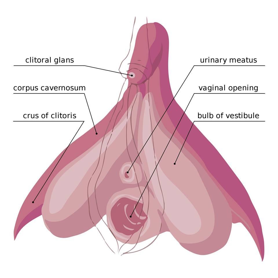 Bild på klitoris